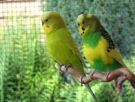 Wavy parrots
