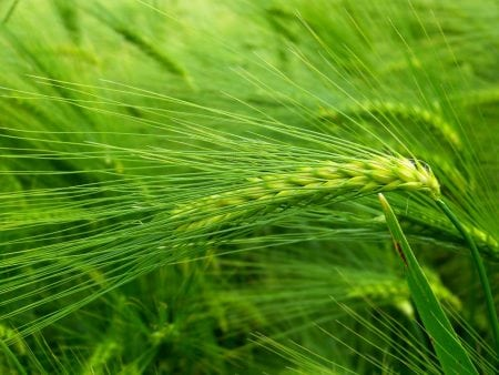 The Amazing Power of Green Barley